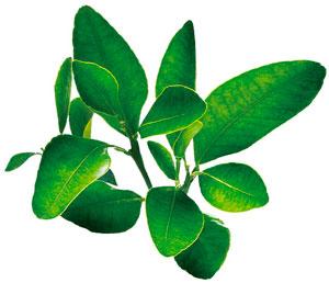 茶中的兒茶素有非常良好的抗老化功效